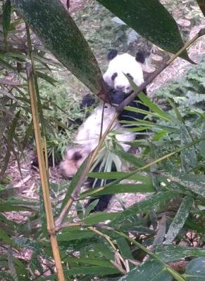 sg-panda